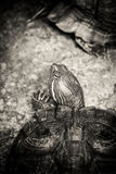 Red eared slider turtle Royalty Free Stock Image
