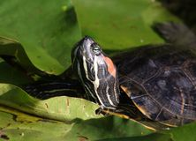 Red-eared slider  turtle portrait Stock Photos