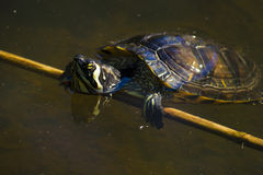 Red-eared slider  turtle portrait Royalty Free Stock Photo