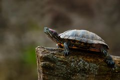 Pond Slider Turtle: Red-eared Subspecies. Red-eared Slider turtle resting on a log basking in the sun. Riverdale Farm, Toronto, Ontario, Canada Royalty Free Stock Photography