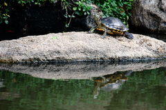 Red-Eared Slider Turtle On the Rock With Reflection On the Water Stock Images