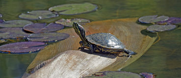 Red-eared slider turtle Royalty Free Stock Photos