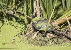 Red Eared Slider Turtle in Sweetwater Wetlands Park, Tucson Arizona. Common Slider Turtle, Trachemys scripta, in duckweed bog swamp of Sweetwater Wetlands Park stock image