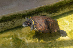 Red eared slider turtle Stock Image