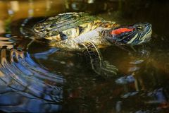 A red-eared slider turtle swims in an artificial pond royalty free stock image