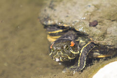 Red-eared slider turtle. Red eared slider turtle, Trachemys scripta elegans, sunbathing on a long in a pond Stock Images