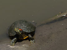 Red eared slider turtle. Trachemys scripta elegans, sunbathing on a long in a pond Royalty Free Stock Photo