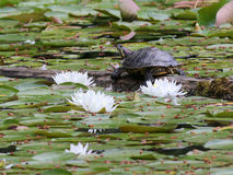 Red-eared Slider Turtle with Water Lilies Royalty Free Stock Photo