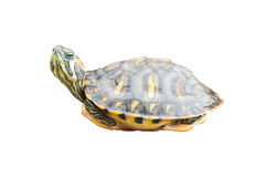 Red Eared Slider Turtle on white background Royalty Free Stock Photo