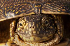 Red eared slider turtle in the wild, surrounded by typical flora Royalty Free Stock Photo