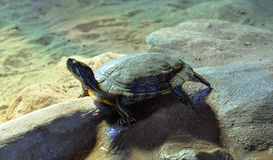 Red eared slider turtle Royalty Free Stock Photos
