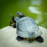Red-Eared Slider Turtles Royalty Free Stock Image
