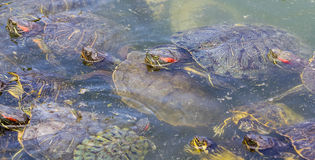 Red-eared slider turtles in a pond Stock Photos