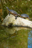 Red eared slider turtles Royalty Free Stock Photos