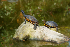 Red eared slider turtles Stock Photography
