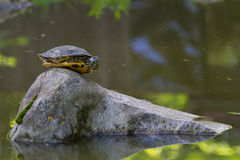 Red eared slider turtles Royalty Free Stock Photography