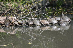 Red-eared Slider Turtles Stock Photography