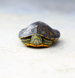 Red-eared slider on white Royalty Free Stock Photos