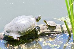 Red Eared Slider and Yellow Bellied Slider Turtles Royalty Free Stock Photo