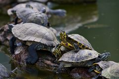 Red-Eared Sliders Royalty Free Stock Photography