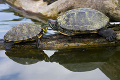 Red Eared Sliders Royalty Free Stock Images