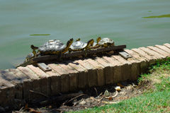 Red-eared sliders Royalty Free Stock Photo