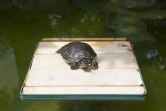 Red-eared sliders on the podium Royalty Free Stock Images