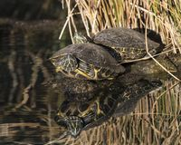 Red Eared Sliders. Turtles baskng in the sun. Arizona desert February 2018 royalty free stock images