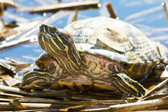 Red-eared Sliders (Trachemys scripta elegans) Stock Image