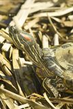 Red-eared Sliders (Trachemys scripta elegans) Stock Images