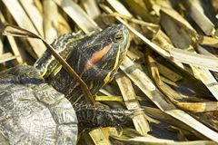 Red-eared Sliders (Trachemys scripta elegans) Stock Photos