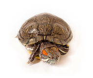 Red-eared sliders, turned the front. Royalty Free Stock Images