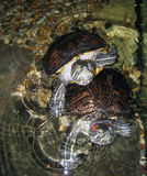 Red eared terrapin Stock Image