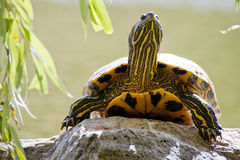 Red-eared terrapin Stock Photos