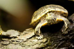 Red-eared terrapin Stock Photo
