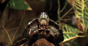 Red Eared Terrapin, trachemys scripta elegans,. Real Time 4K stock video