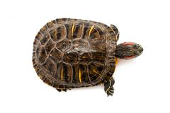 Red eared turtle Stock Images