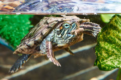 Red-eared turtle have dry feed Stock Photography