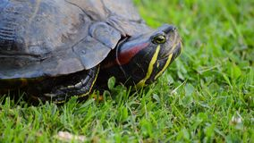 Red eared turtle head emerging stock footage