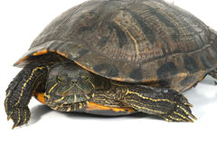 Red-eared turtle isolated on white background. Royalty Free Stock Photography