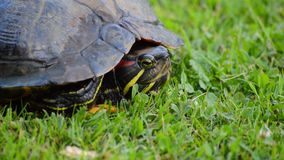 Red eared turtle in its shell stock video footage