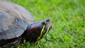 Red eared turtle looking around stock footage