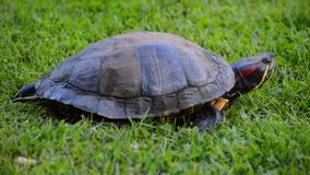 Red eared turtle moving stock footage