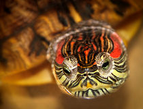 Red Eared Turtle Royalty Free Stock Photography