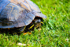Red eared turtle in shell close up. Red eared turtle hiding in its shell close up on green grass Royalty Free Stock Image