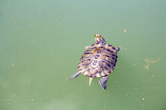 Red Eared Turtle. Small Red Eared Turtle in Lake Royalty Free Stock Photos