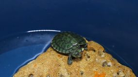 The red-eared turtle on stone stock video footage