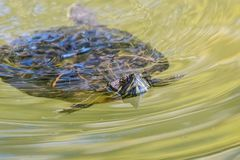 Red eared turtle swimming in a pond. Wildlife royalty free stock image