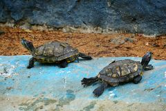 Red eared turtle Royalty Free Stock Images