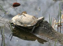 Red eared water turtle Stock Photos